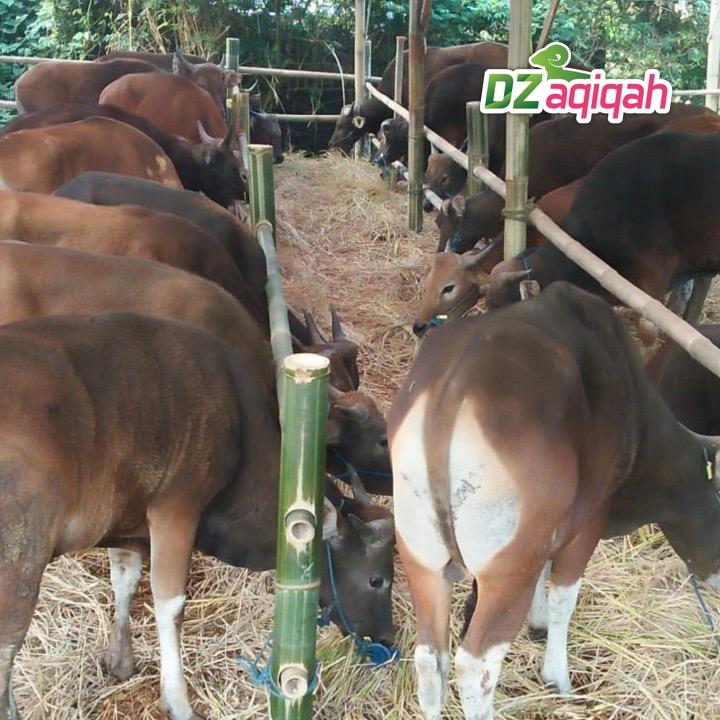 peternak sapi kurban di purwakarta