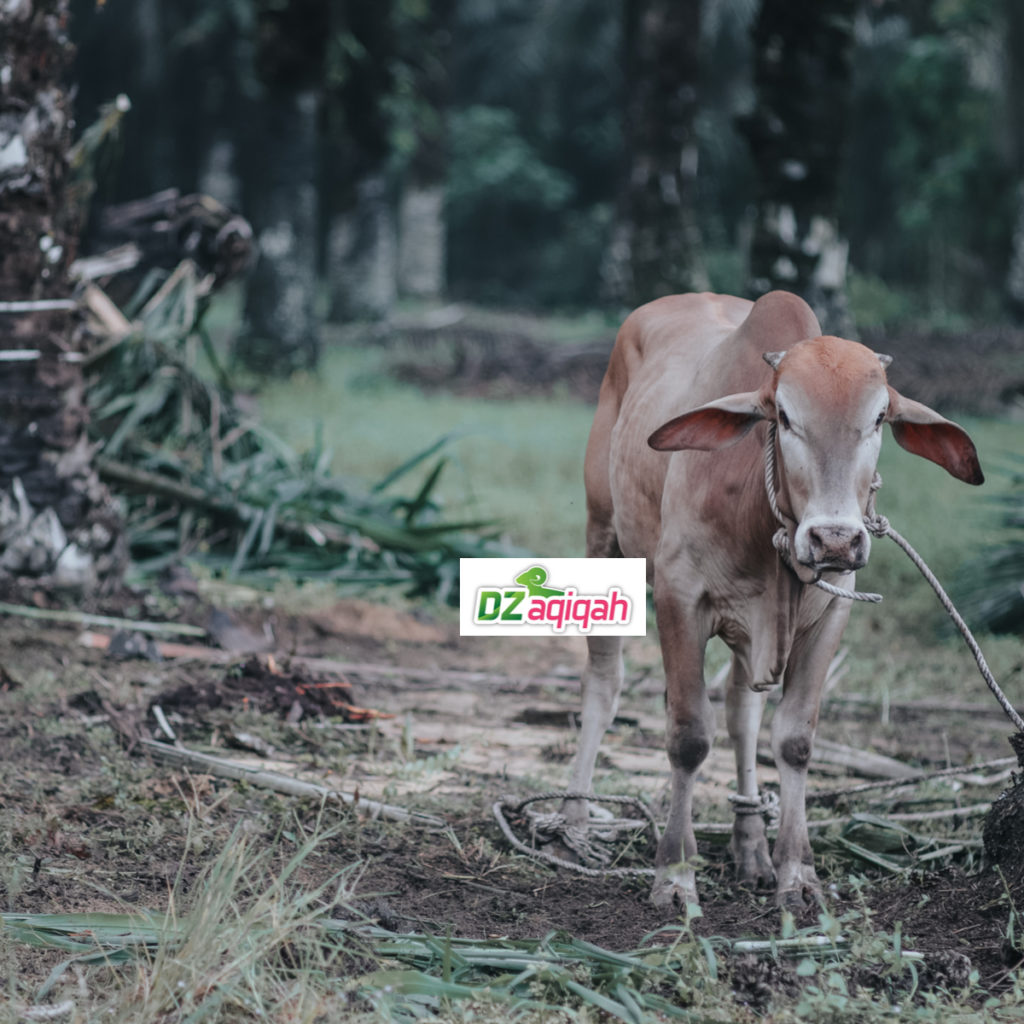 Harga Sapi Qurban 2019 Purwakarta