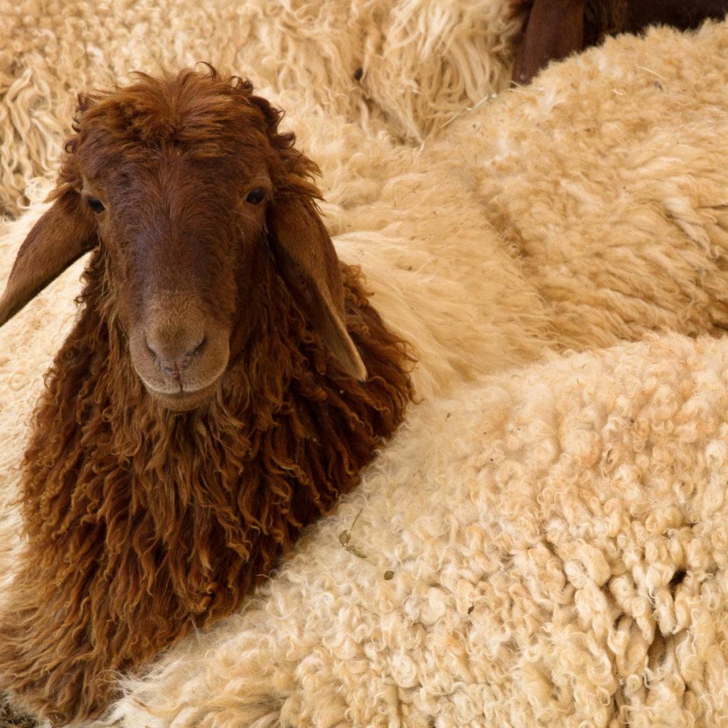Penyedia Domba Kurban di Purwakarta