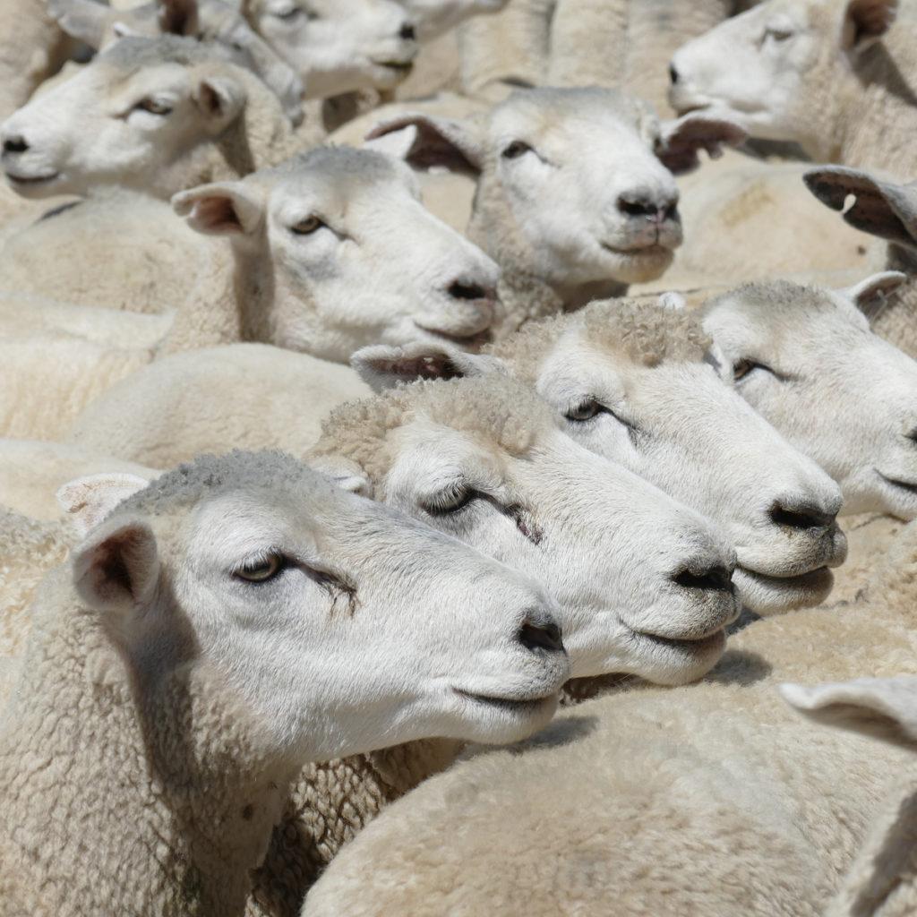Penyedia Sapi dan Domba Kurban Terbaik di Purwakarta