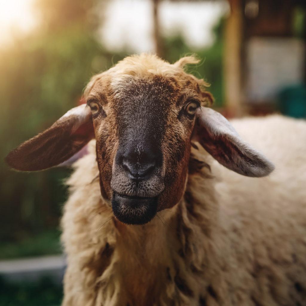 Penjual Sapi Kurban dan Domba Kurban di Purwakarta