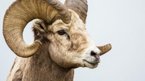 Peternak yang menjual Sapi dan Domba Kurban di Purwakarta
