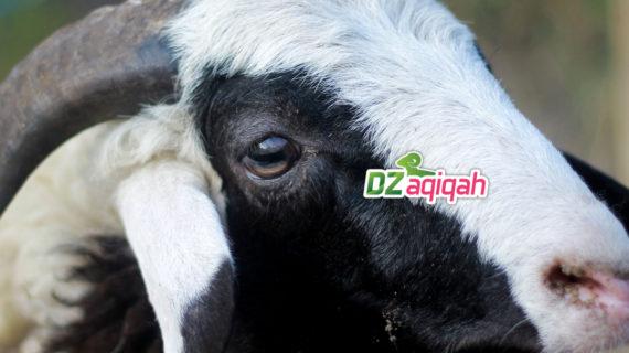 Harga Domba Untuk Aqiqah di Purwakarta