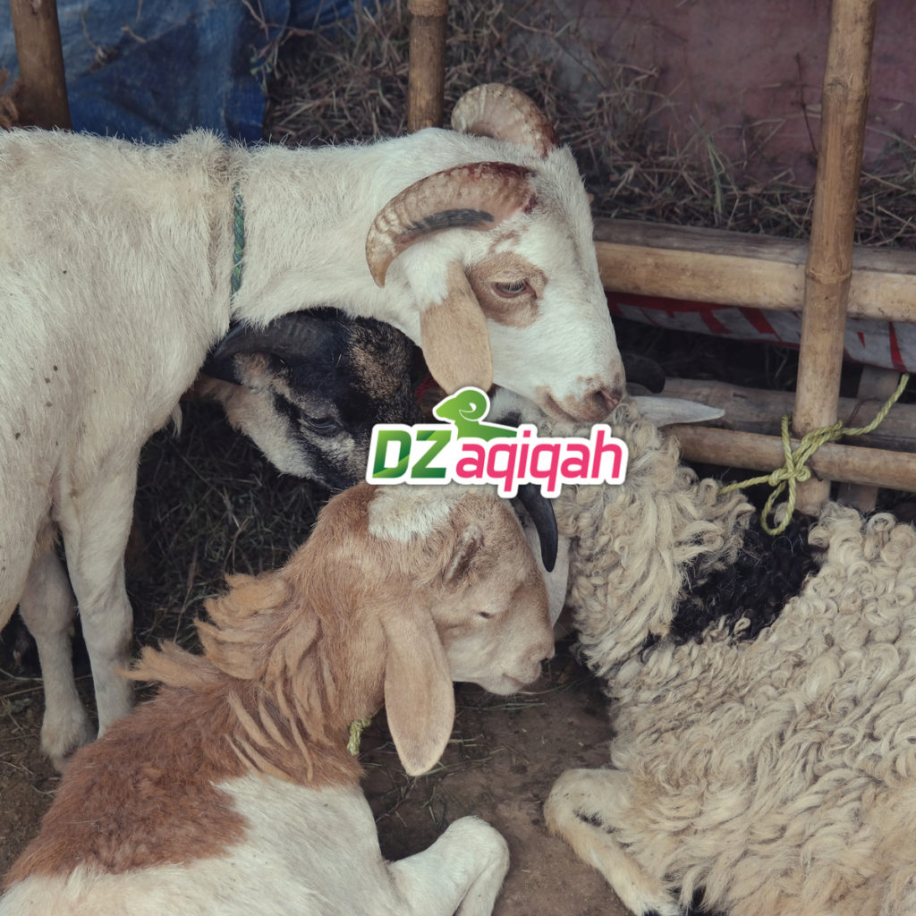 Penyedia Domba Murah Untuk Aqiqah di Purwakarta