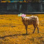Penyedia Sapi dan Domba Kurban di Purwakarta