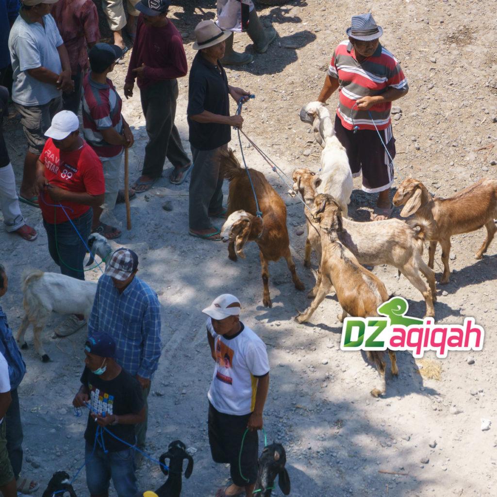 Peternakan Khusus Aqiqah di Purwakarta
