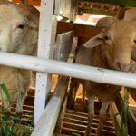 Penyedia Hewan Ternak untuk Kurban di Purwakarta