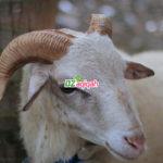 Jual Hewan domba dan Kambing Aqiqah di Purwakarta Murah