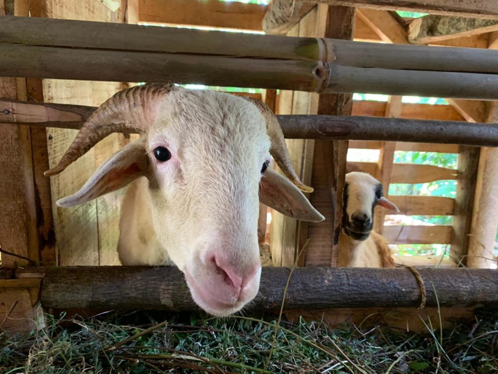 Domba/kambing untuk aqiqah dan qurban di purwakarta