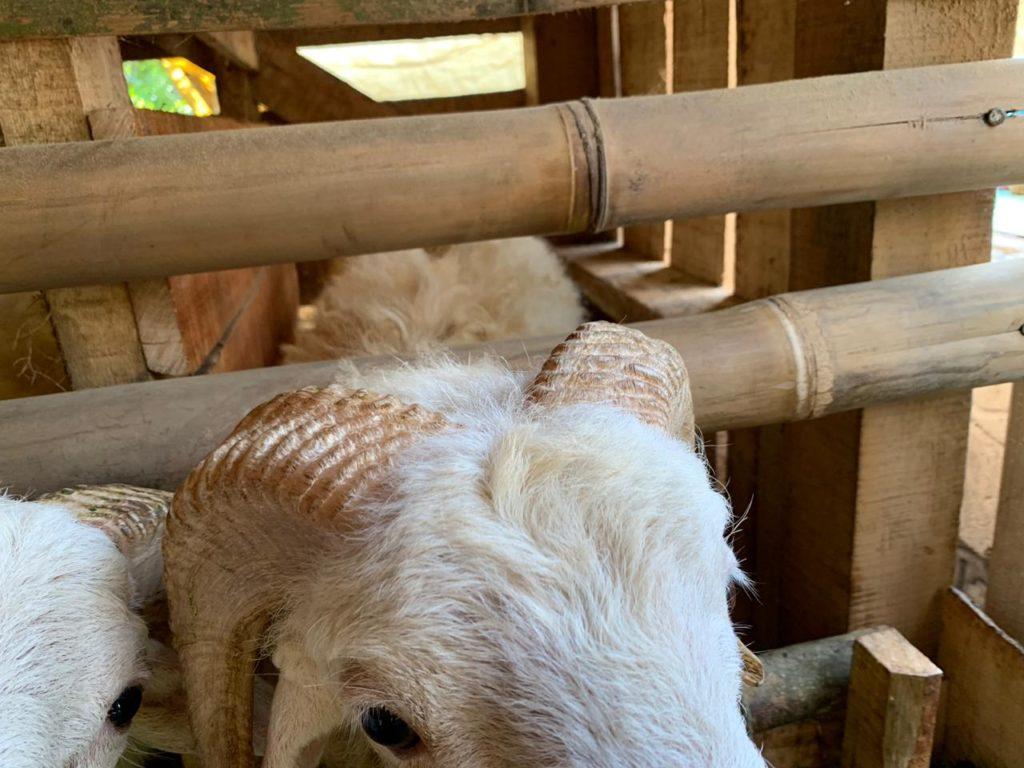 kurban domba di purwakarta