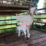 Hewan Aqiqah Domba dan Kambing Murah di Purwakarta