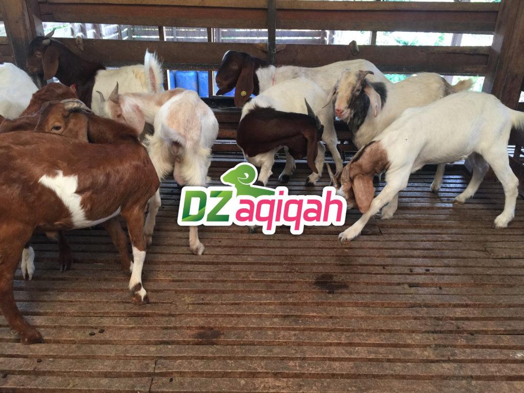 ternak aqiqah murah di purwakarta