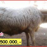Harga domba qurban 2019 dan 2020 Bandung dan Purwakarta