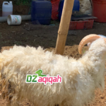 Harga Domba Qurban 2019 dan 2020 Purwakarta